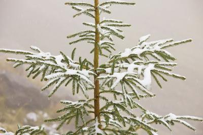 Norway Spruce Tree Covered with Light Snow And
