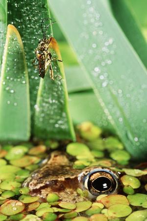 Moor Frog Watching Beetle (Donacia Sp)