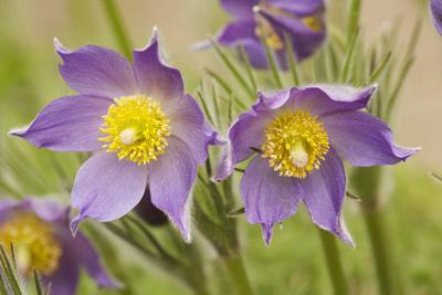 Eastern Pasque Flower