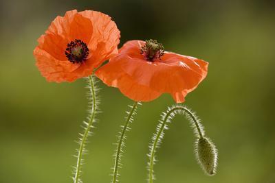 Field Poppy Widespread Cornfield Weed