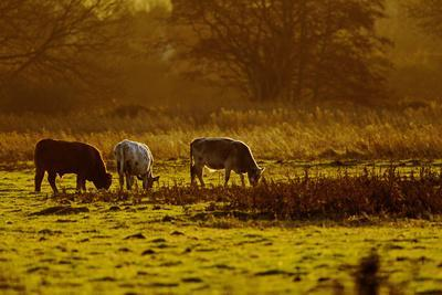 Cattle Grazing Early Morning