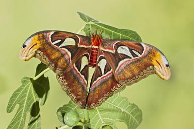 Giant Atlas Moth on Leaf