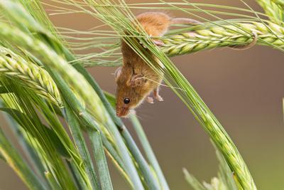 Harvest Mouse in Barley