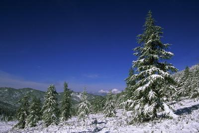 Russia Fir Trees and Spruces after a Snowfall