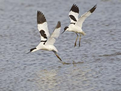 Avocet Courtship Chase in Flight