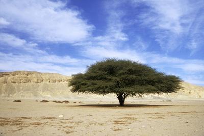 Egypt Acacia Tree in Arabian Desert