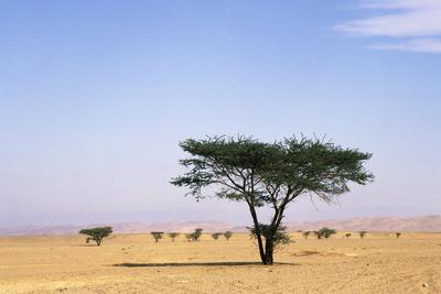 Egypt Typical Midday Scene with Acacia Trees