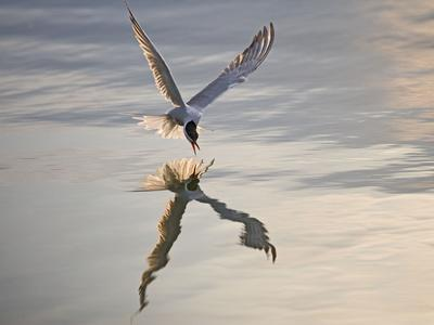 Common Tern Takes Fish at Sunset