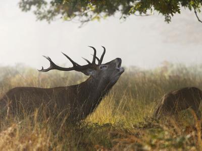 Red Deer Stag Roaring in the Mist