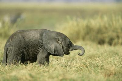 African Elephant Baby