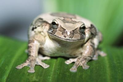 Mexican Masked Treefrog