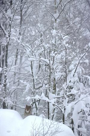 Eurasian Lynx in Snow