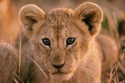 Lion Cub Close Up of Face