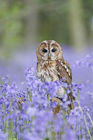 Tawny Owl on Stump in Bluebell Wood