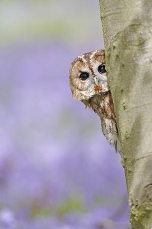 Tawny Owl Looking around Tree in Bluebell Wood