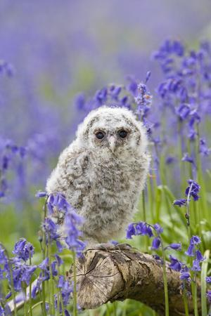 Tawny Owl, Youngster in Meadow