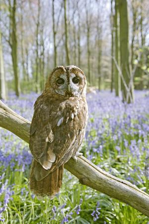 Tawny Owl in Bluebell Wood