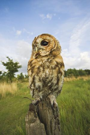 Tawny Owl with Prey on Post