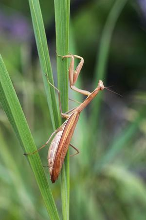 Praying Mantis Hides in Long Grasses