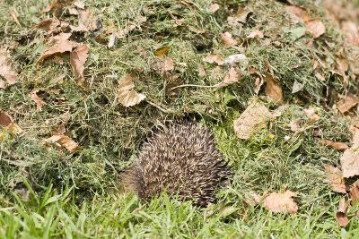 Hedgehog Juvenile Burrowing into Pile of Garden