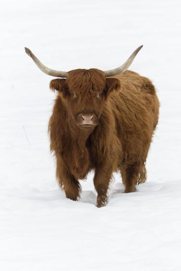 'Scottish Highland Cow Standing on Snow Covered Field ... - photo#15