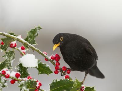 Blackbird Male Feeding on Holly Berries
