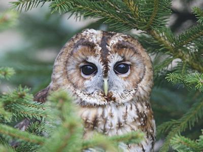 Tawny Owl in Fir Tree
