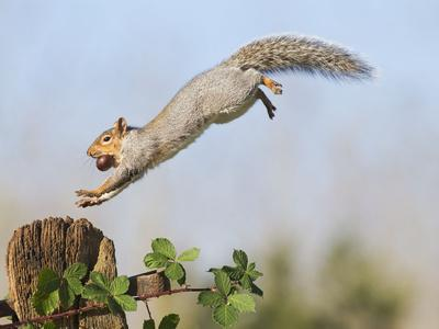 Grey Squirrel Jumping to Gate Post with Nut in Mouth