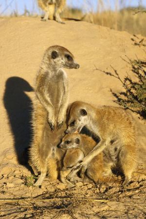Meerkat Adult Grooming Young