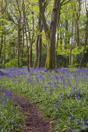 Pendarves Woods, Bluebells, Spring