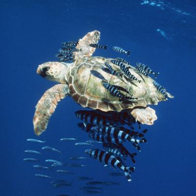Loggerhead Turtle Juvenile with Pilot Fish