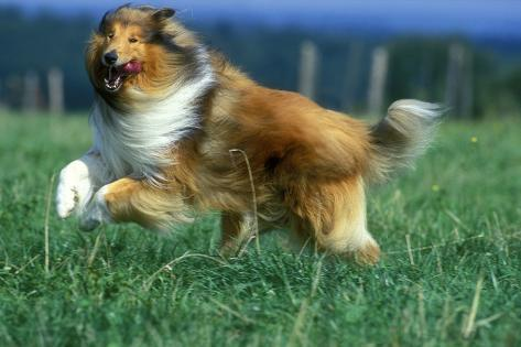 Rough Collie Dog Running Photographic Print At Allposters Com