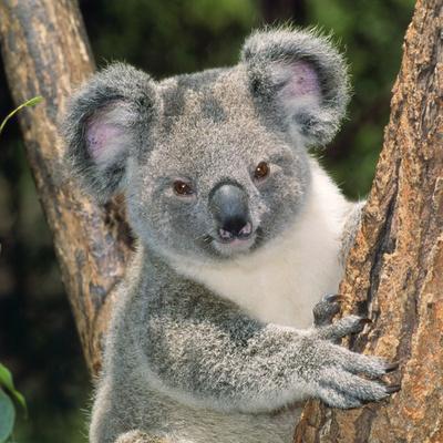 Koala Young Close-Up