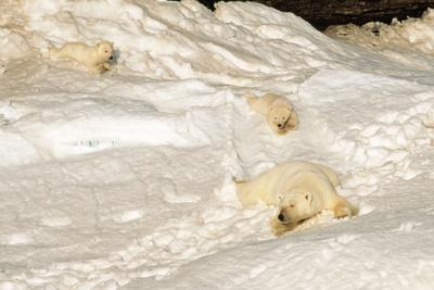 Polar Bear Mother with Cubs Sliding from Winter Den