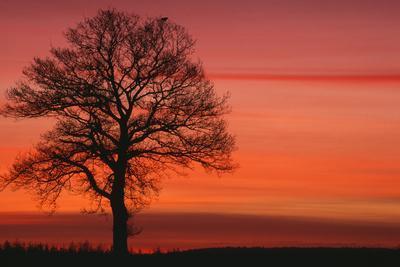 Oak Tree with Buzzard, Field in Winter Dawn Light