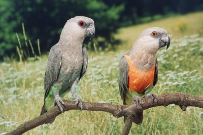 Red-Bellied Parrots
