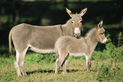 Donkey Foal with Mother