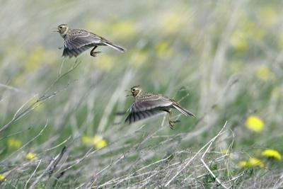 Skylark Taking Off from Fallow Land