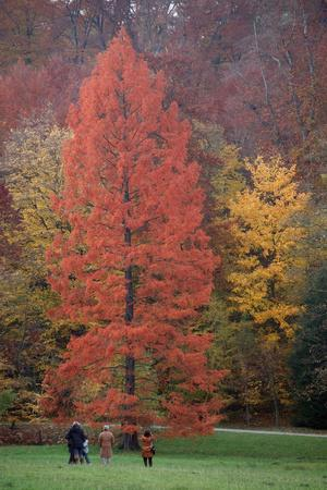 Swamp Cypress Foilage in Autumn Colour