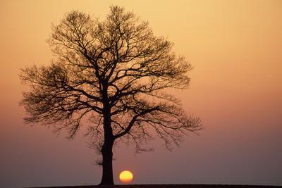 Oak Tree Standing on Field with Winter Sunset