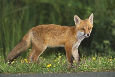 European Fox, Young Animal on Road at Dusk