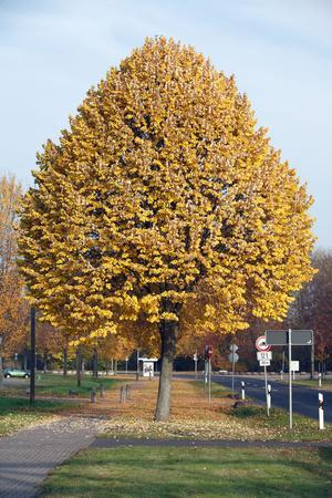 Silver Lime Tree by Road Autumn