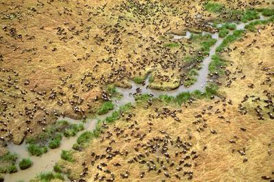 Aerial Wildebeest on Migration