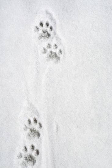 Snow Leopard Tracks Photographic Print at AllPosters.com