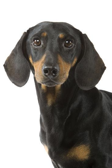 Dachshund Teckel Smooth Haired Black And Tan Photographic