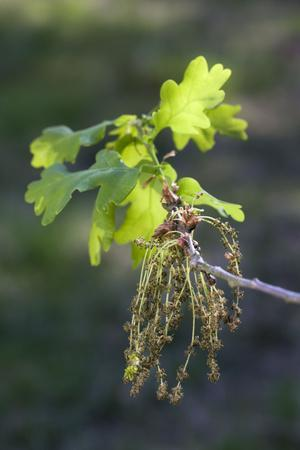 English Oak Tree Flowering Leaves