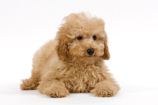 Apricot Poodle Puppy In Studio