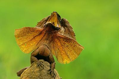Frilled Lizard Defensive Display Perched on Termite Mound