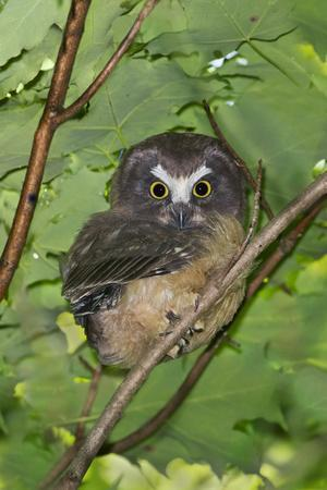 Northern Saw-Whet Owl Fledgling Out of the Nest
