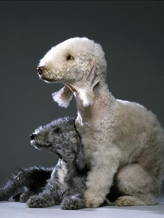 Bedlington Terrier Dogs
